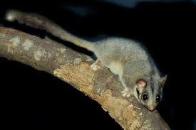 Leadbeater's possum   Animal Victoria