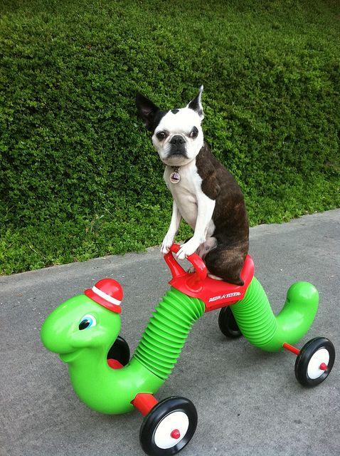 beast mode: Boston Terriers Love, Adorable Boston, Bicycles, Dogs Stuff, Folk, Eye Catcher, Funny Stuff, Happy Saturday, Beast Mode
