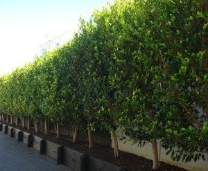 Ficus tuffi Hedge in black planter - bay tree hedge