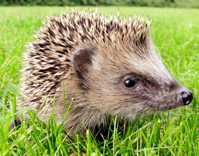 Baby hedgehog - Top 20 most delightful baby animals in the Animal Kingdom - NY Daily News