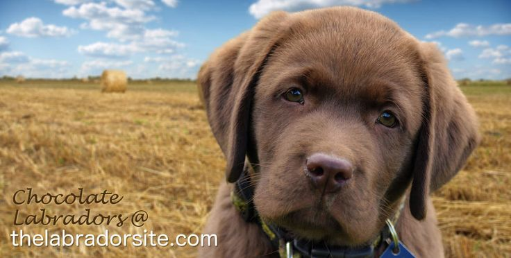 We answer your chocolate Labrador Retriever questions. Including looking at where he came from, how to train him, what to expect & why he's such a fab pet.