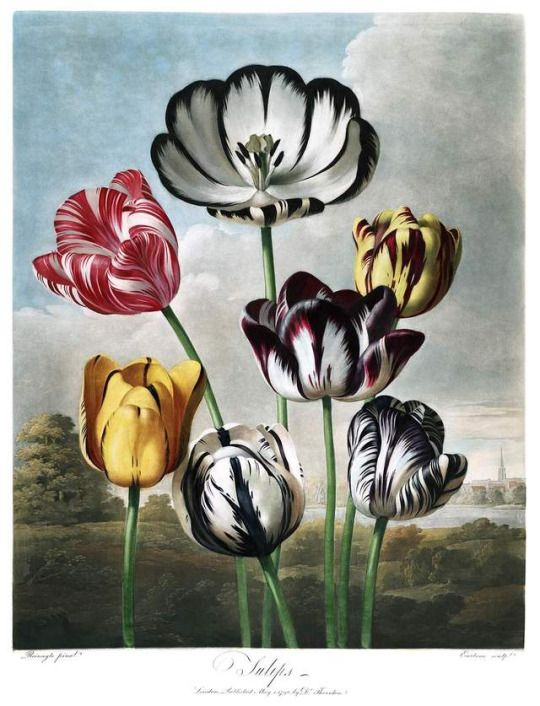 Tulips. Metal engraving by Richard Earlom, based on the artwork of Philip Reinagle, for the book, New Illustration of the Sexual System of Carolus von Linnaeus: And the Temple of Flora, or Garden of Nature, published in 1807.