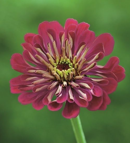 Zinnia elegans 'Benary's Giant Wine' - seeds available chiltern seeds