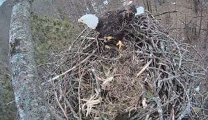 Live eagle cam at Platte River State Fish Hatchery allows viewers to watch nesting pair in real time
