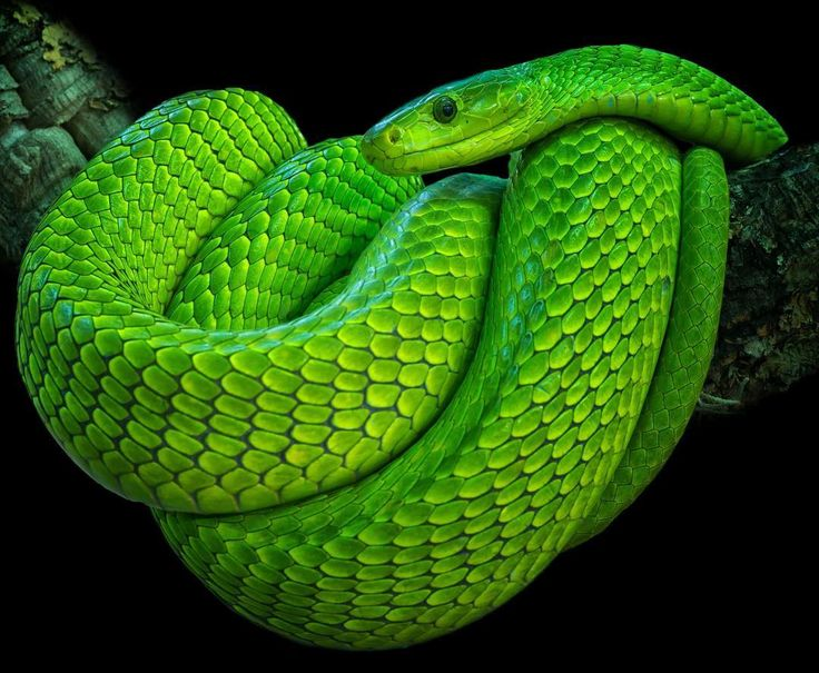 """241 Likes, 2 Comments - Ꮗ Ꭷ Ꮢ Ꮭ Ꮄ   ᎧᎦ   Ꮥ Ꮑ Ꮧ Ꮶ Ꮛ Ꮥ (@world_of_snakes_) on Instagram: """"Green Mamba ➖➖➖➖➖➖➖➖➖➖➖➖…"""""""