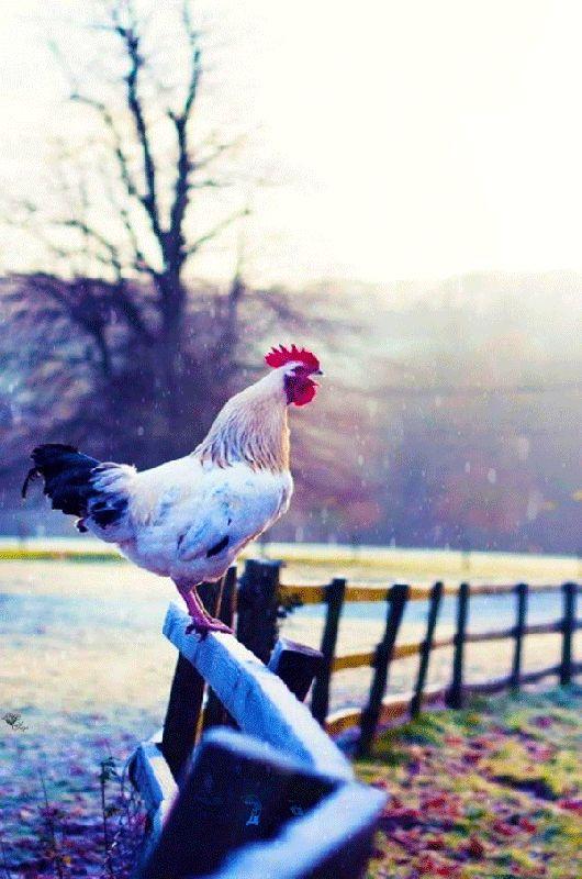 поведением картинки с курицами доброе утро одноэтажный дом