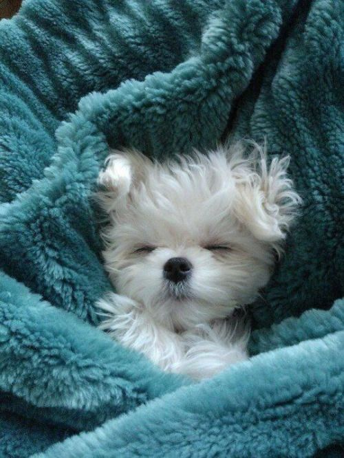 Little puppy wrapped in a blue blanket!