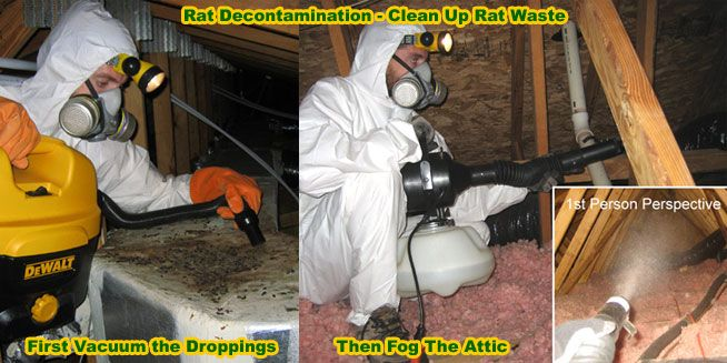 How to Clean Rat Feces, Urine, Waste, Poop, Mouse and ...
