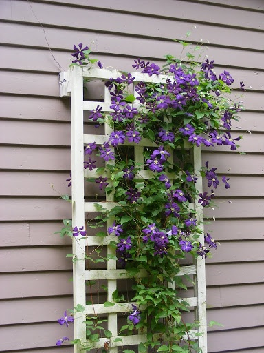 Clematis Jackmanii - a classic and THE most no-fuss clematis there is