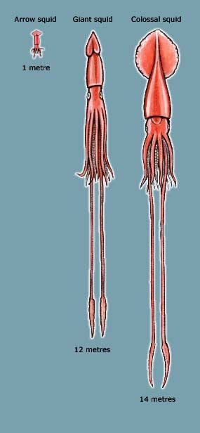 Size comparison of the arrow, giant and colossal squid