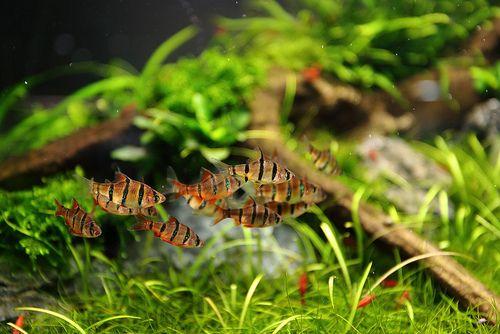 Puntius pentazona Fishy Pinterest