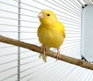 Canary breeding at home | Hodowla kanarka w domu