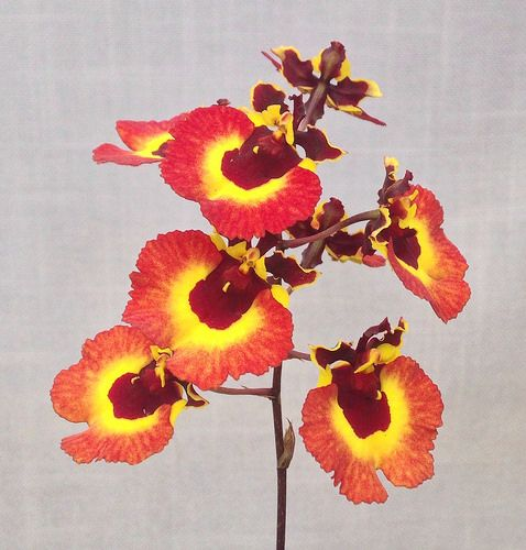 Tolumnia Tequila Sunrise Z-20079 #Tolumnia #equitant #oncidium #orchid | by Orchids by Hausermann