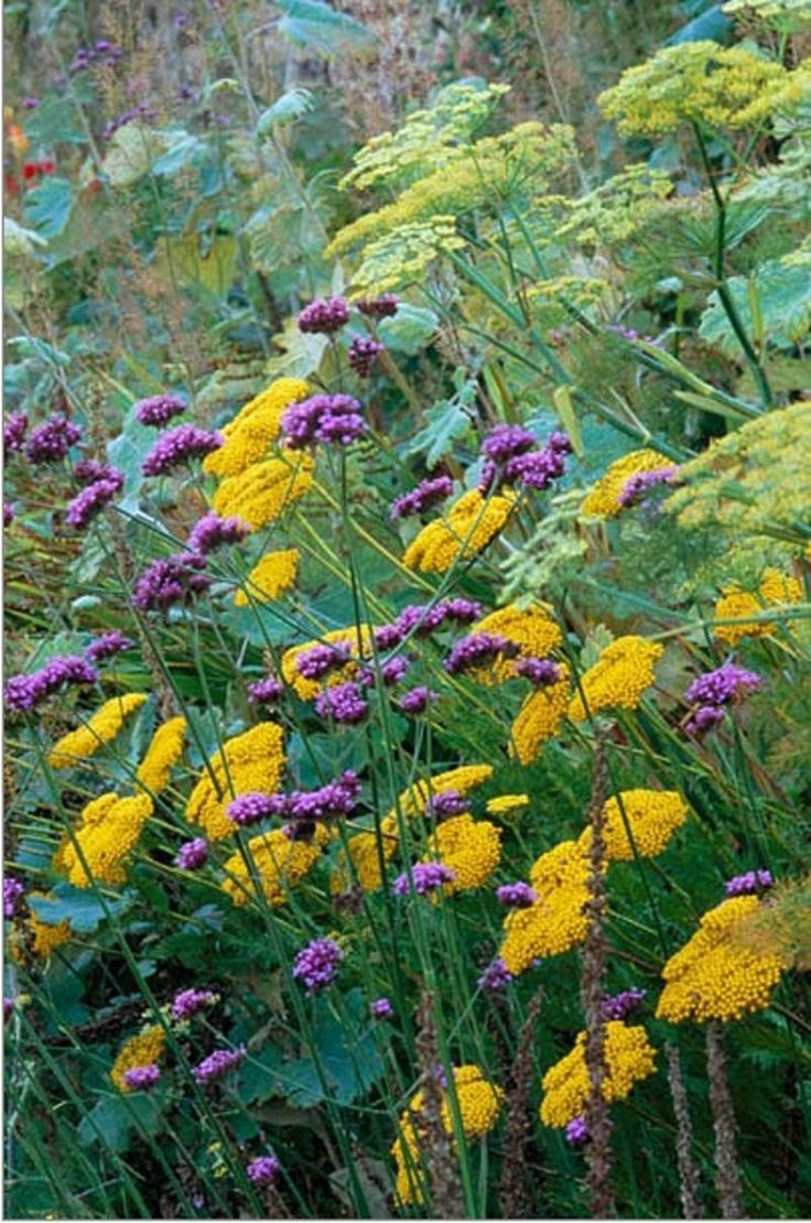 Achillea 'Gold Plate' and Verbena bonariensis in late summer border. Herbaceous perennial. Biennial colour contrast combination border. September yellow violet lilac