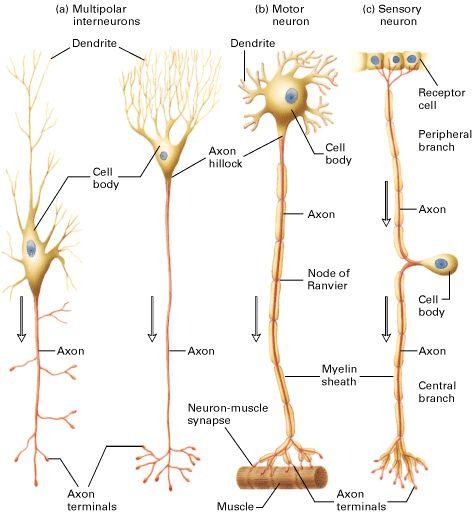 Unipolar, bipolar, and multipolar axons #neuroanatomy