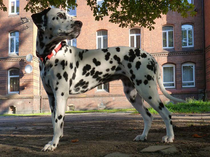 #Dalmatian Lika #Puppy #Dog