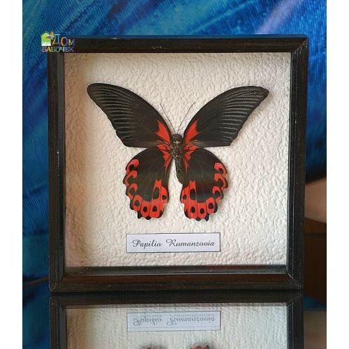 Бабочка Страсти - Парусник Румянцева в рамке