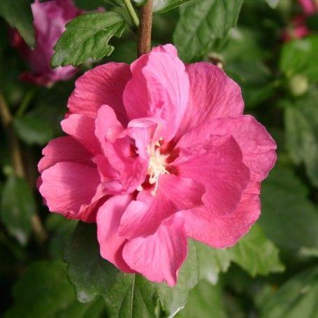 Hibiscus syriacus Duc de Brabant - RoyalPlant.ro