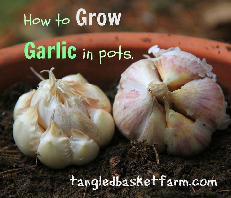 How to grow garlic in pots.
