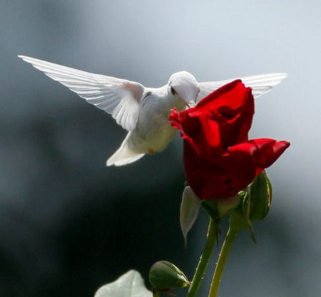 White Hummingbird and rose