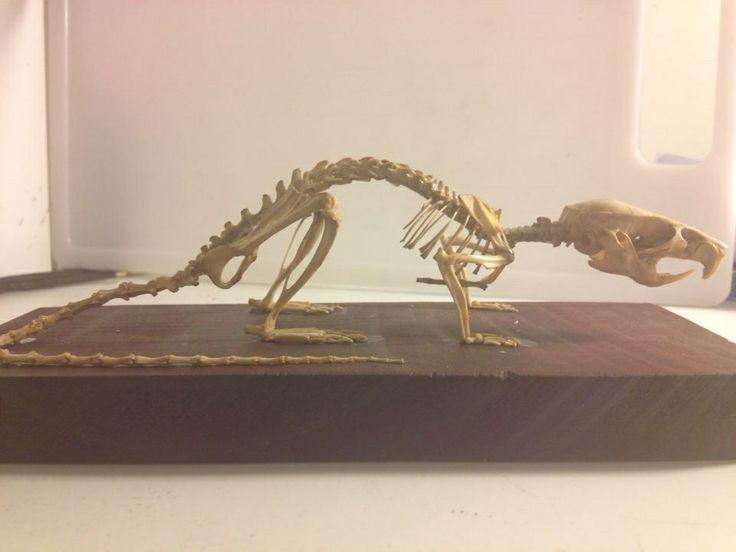 Complete mount rat skeleton