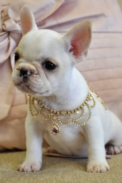 baby french bulldog white White Baby French Bulldog