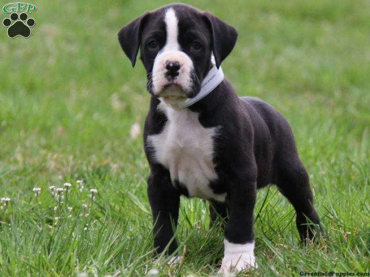 dane boxer puppies Great Dane Standard Poodle Mix For