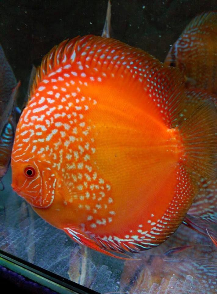 Orange Discus Discus Fish Aquarium Fish Tropical Fish