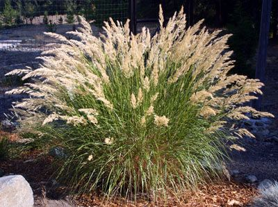 """Achnatherum calamagrostis (Stipa calamagrostis) - Spear Grass    Description: cool season; clump forming Foliage - grey-green; the blades are narrow; 50-70 cm (20-28"""") tall Flowers - June-July; 80-100 cm (32-40"""") tall  Ideal growing conditions: part shade to full sun (with ample water); moist, well drained, fertile soil; tolerates poor soil with ample water; more drought tolerant in partial shade"""