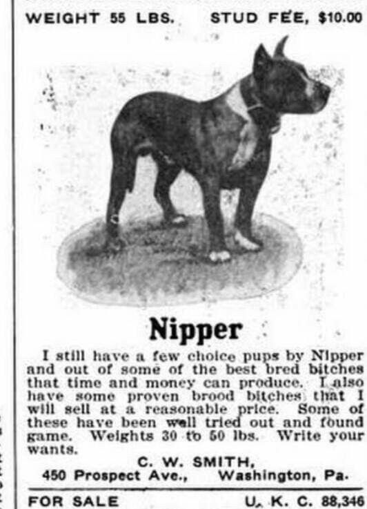 Pin By Tanja Njegovan On American Staffordshire Apbt Staffordshire Bull Terrier History American Pitbull Terrier American Staffordshire Pitbull Terrier