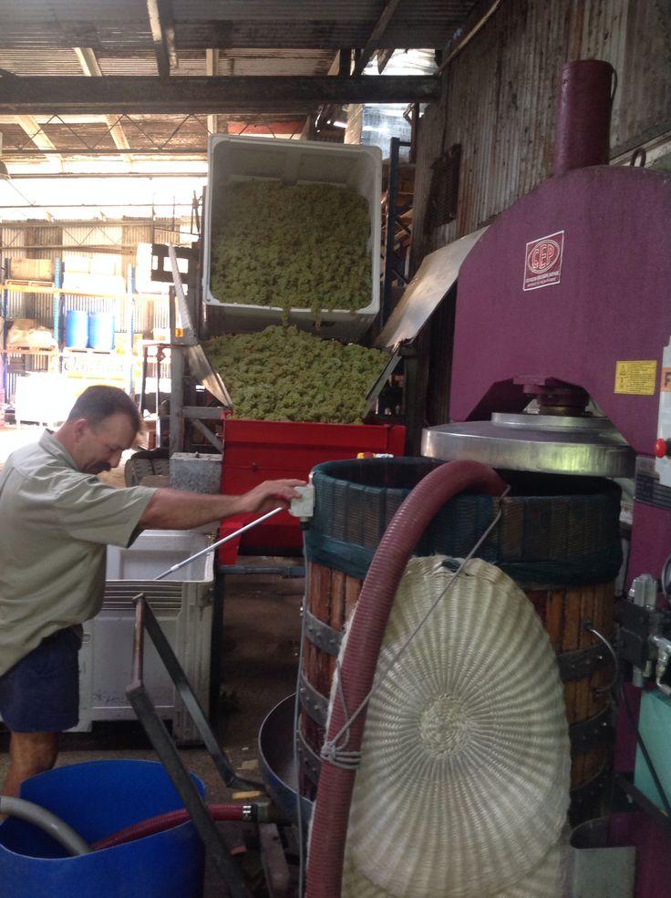 Pressing out Chardonnay grapes at Bago Vineyards