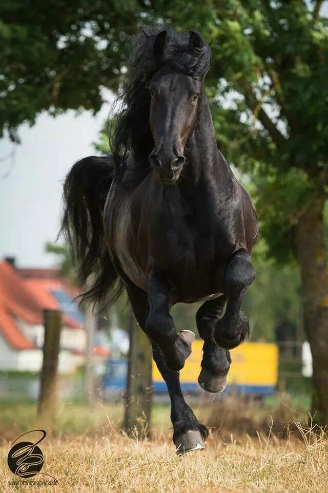 Magnificent Friesian