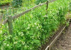 Когда и как сажать горох? Посадка (посев) и выращивание гороха