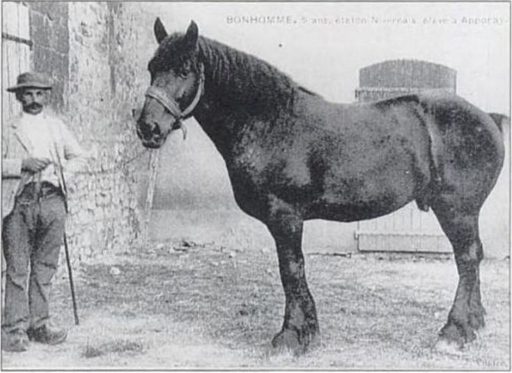 Cheval nivernais. Nivernais horse. The Nivernais is an endangered breed of heavy…