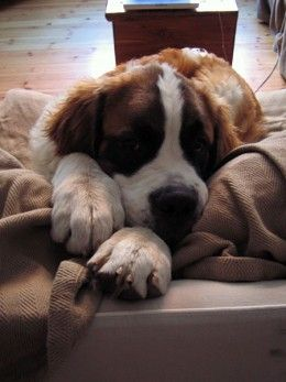 Training makes the St Bernard one of the best choices for an introvert.