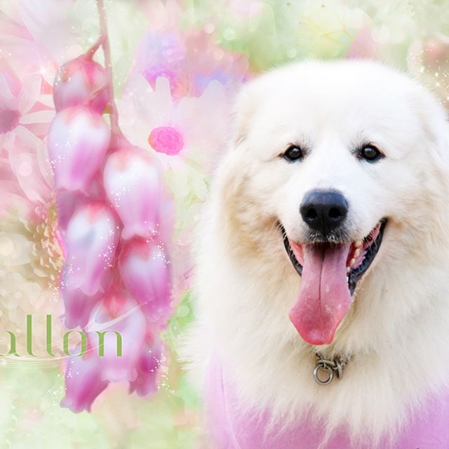 Mallon * お写真からアート加工してます💖 . プロフィールからホームページに飛べます♬ .  #greatpyreneesfamily  #pets_perfection  #my_loving_pet  #dogs_of_instagram  #instadogsfeature #pupdoggydog  #meowvswoof  #bestwoof  #dog_features  #dogsofinstagram  #ilovemydog  #puppytales  #instagramdogs  #dogstagram  #nature_cuties  #FurrendsUpClose  #greatpyrfeature  #igclub_dogs  #photoshop  #instadog  #フォトショップ  #puppytrip  #pyreneanmountaindog  #アトリエFarsley  #Excellent_Dogs  #puppiesforall #lillyspicoftheweek  #animaladdict…