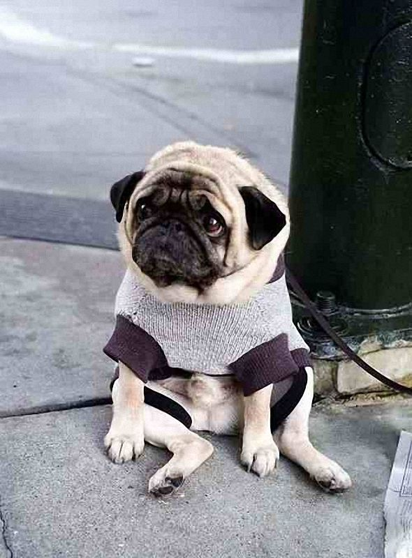 The saddest dog in the world? This dog's owner went into a cafe in San Francisco. Passed by photographer Casey Fildrend, who captured the feelings of this little sweater-wearing guy.: Sad Pugs, Dogs Videos, Funny Dogs Pics, Things Dogs, Sad Dogs, Cute Pugs, Pugs Faces, So Sad, Adorable Animal