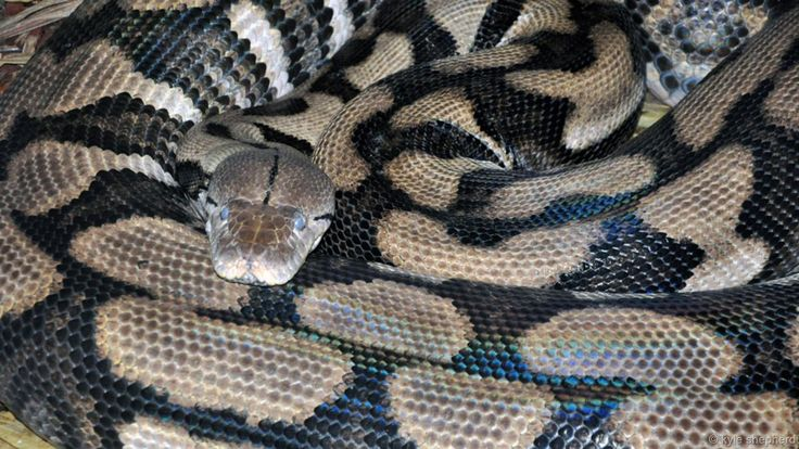 Thelma the snake confused then astounded her keepers. This 6m long  python had spent four years alone in Louisville zoo in the US, without ever having met a male of her species. But, somehow, she laid over 61 eggs, producing six healthy babies. Photo Credit ~ Kyle Shepherd.