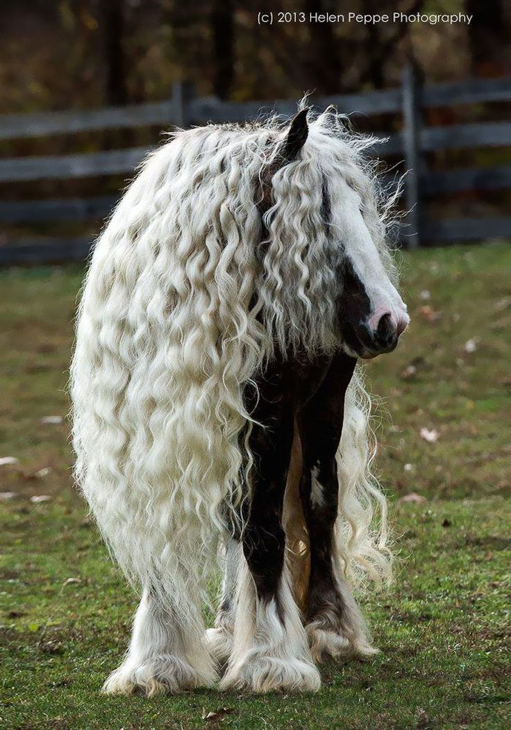 Animals With Majestic Hair---Gypsy Vanner Horse. Who else dreams of having hair this effortlessly gorgeous every morning? I know I do!