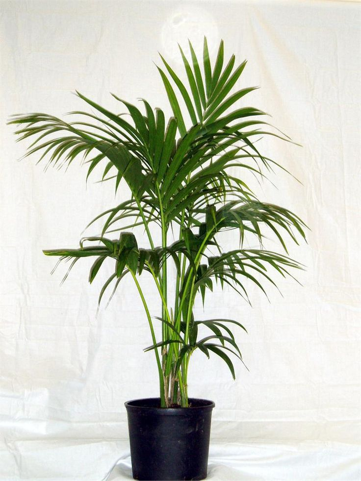 best 25  kentia palm ideas on pinterest