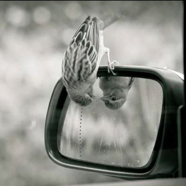 A bird looking at itself upside down in car mirror.
