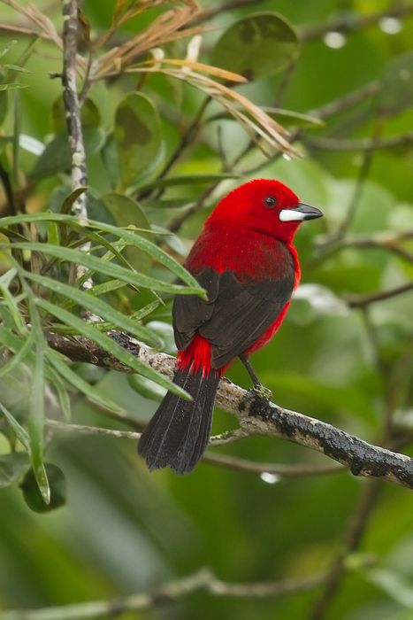 The Scarlet Tanager, Piranga Olivacea, is a medium-sized North & South American songbird. Formerly placed in the tanager family (Thraupidae), it and other members of its genus are now classified in the Cardinal family, Cardinalidae.