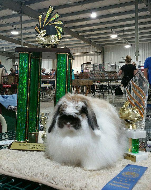 Lazy Daisy Rabbitry, American Fuzzy lops | Does