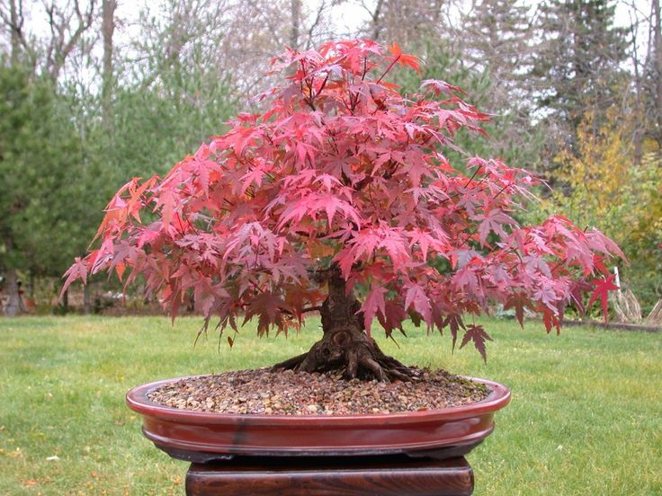 How to Care for Your Red Maple Bonsai - Bonsai Tree Care- The Ultimate Guide