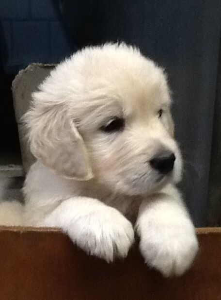 Winchester ON Golden Retriever Puppies For Sale & Golden Retriever Dog Breeders | Shaynedoro Goldens