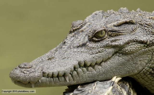 Siamese crocodiles are one of the most endangered crocodile species in the wild. Their last remaining stronghold are the slow moving rivers and swamps of Cambodia, where the population is thought to number fewer than 5,000 individuals