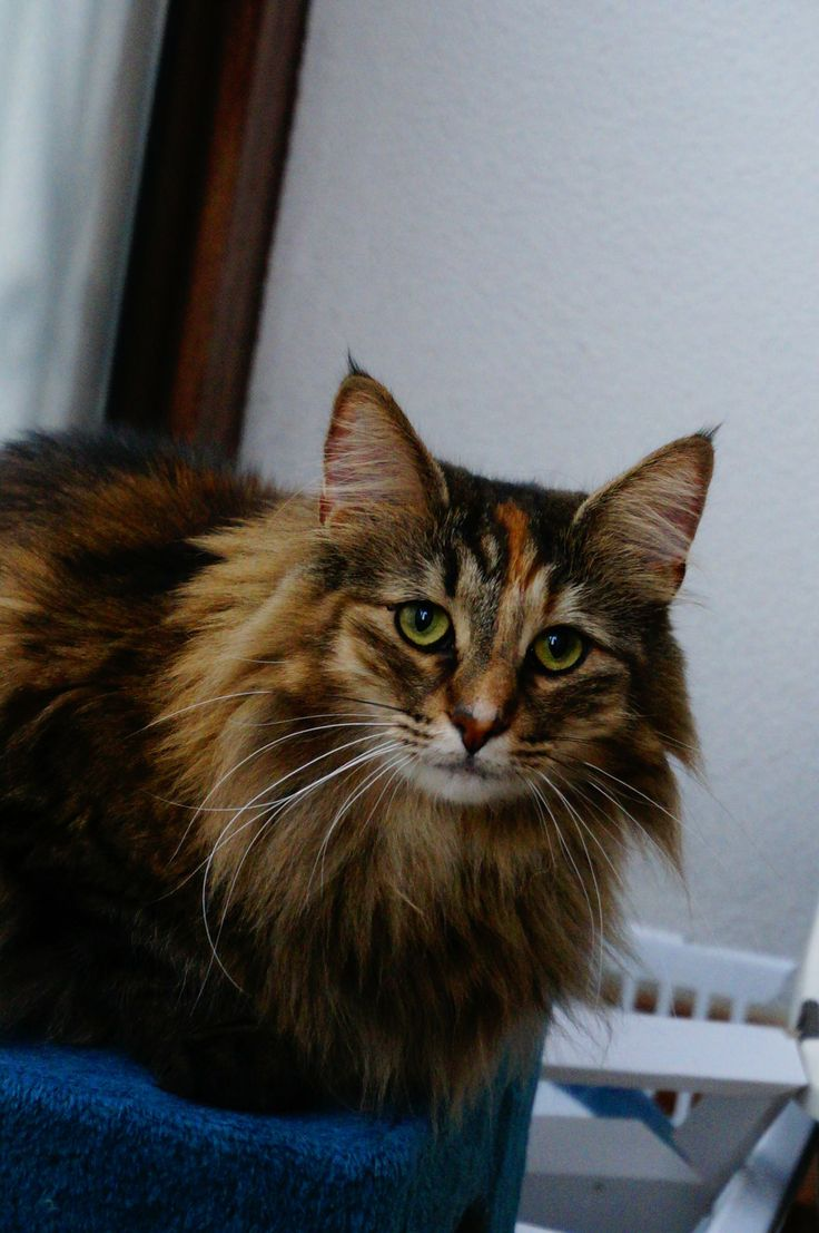 The best My norwegian forest cats images on Pinterest Norwegian