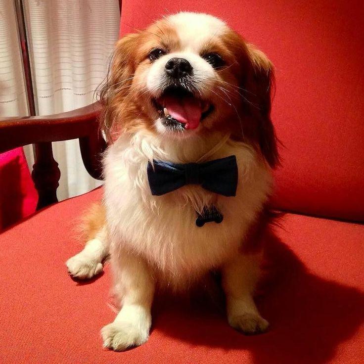 Che eleganza Brad   Segui anche @MiaoSocial!  Per il repost: seguici e tagga #BauSocial  Foto di: @ilaria_b_1992   Bred con il papillon... Un vero giovanotto  #cavalierkingcharles #cavalier #cavalierking #cavalierkingcharlesspaniel #cavalierlover #pechinese #cani #dog #lovedog #dogs #lovedogs #lifedog #instadog #doglover #ilovemydog #sweetdog #doglovers #mydog #meticcio #dogsofinsta #instagramdogs #papillon #cane #instadog #amoilmiocane