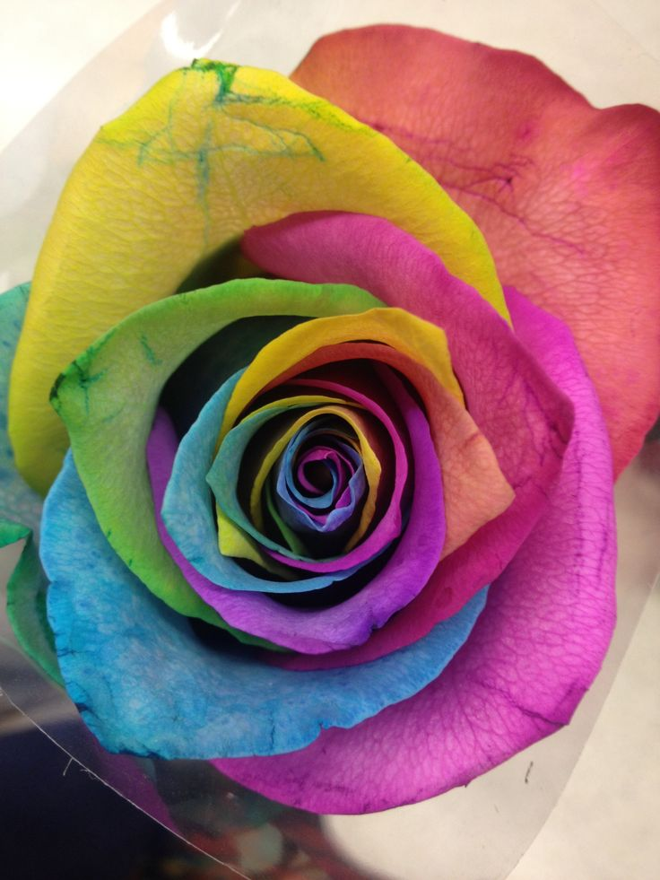 Harlequin rose £3.50 from sainsburys | Gifts | Pinterest ...