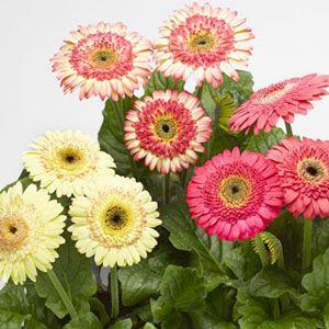 Cartwheel Strawberry Twist Gerbera Plant